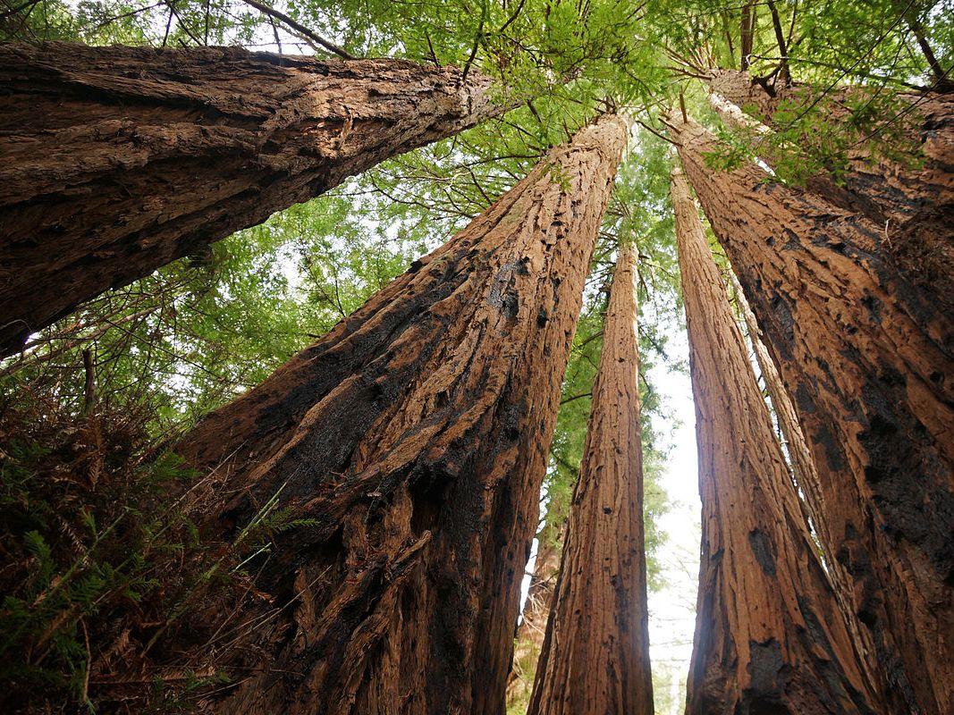 L'albero più alto del mondo misura 115 metri e per i biologi ha 1.260 anni