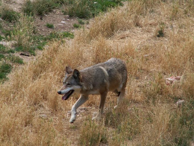 Storia di Arvo, lupo dell'Aspromonte