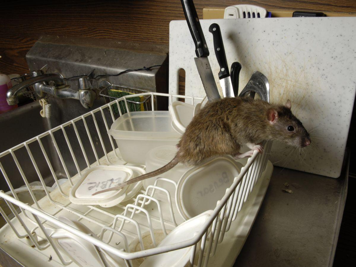 Escrementi di topi, scarafaggi, pesce invaso dai vermi <br> Gli orrori trovati dai Nas nei ristoranti etnici e non solo