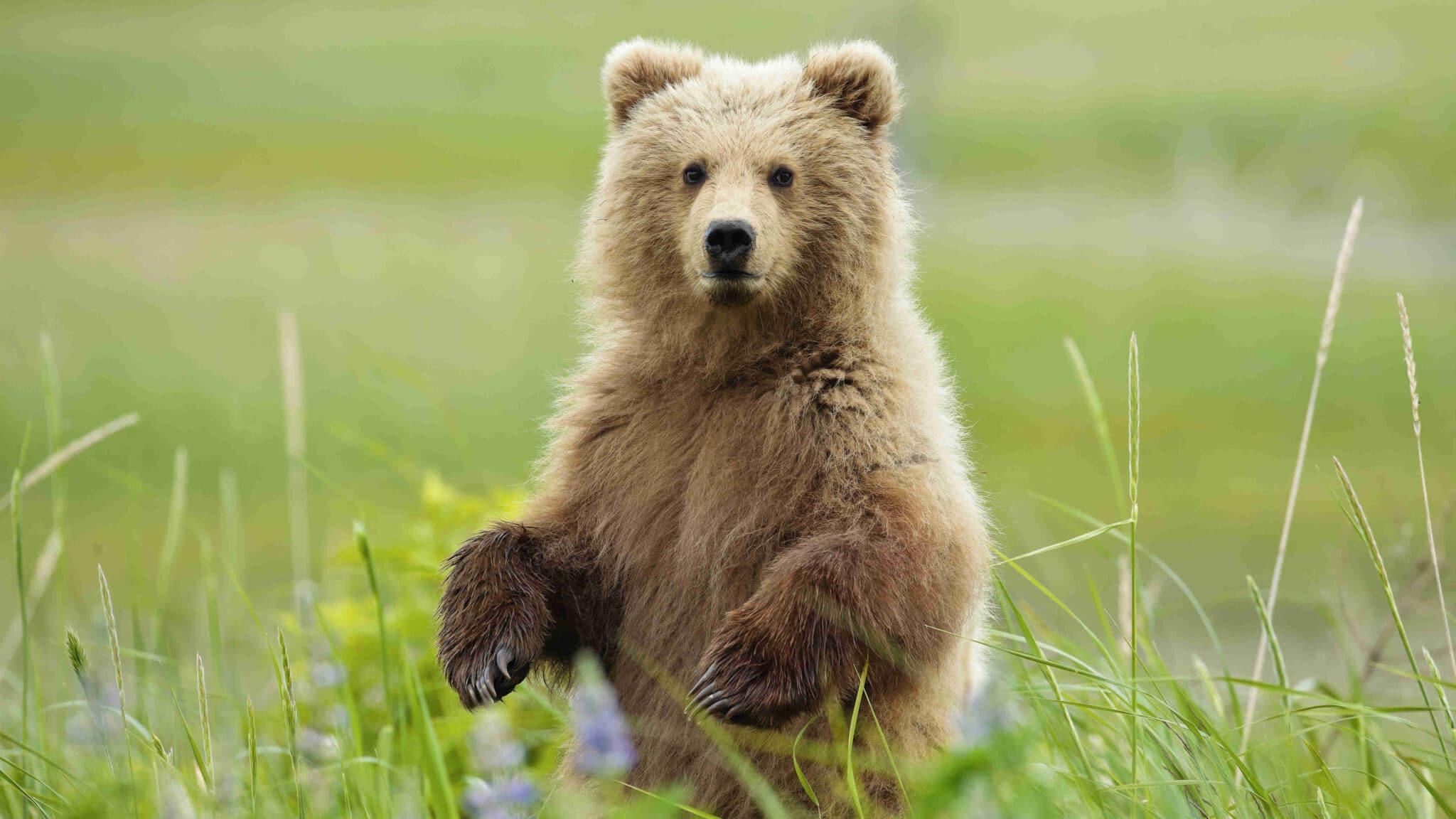 In Italia restano circa 150 orsi<br>Carattere ed abitudini dei plantigradi