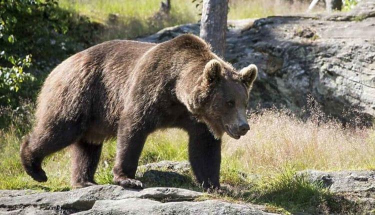 La fuga di M49, l'orso più ricercato d'Italia