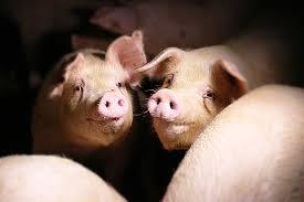 12 milioni di suini sacrificati ogni anno in Italia ed il 90% è segregato negli allevamenti intensivi <br> Vita agra e morte atroce dei maiali