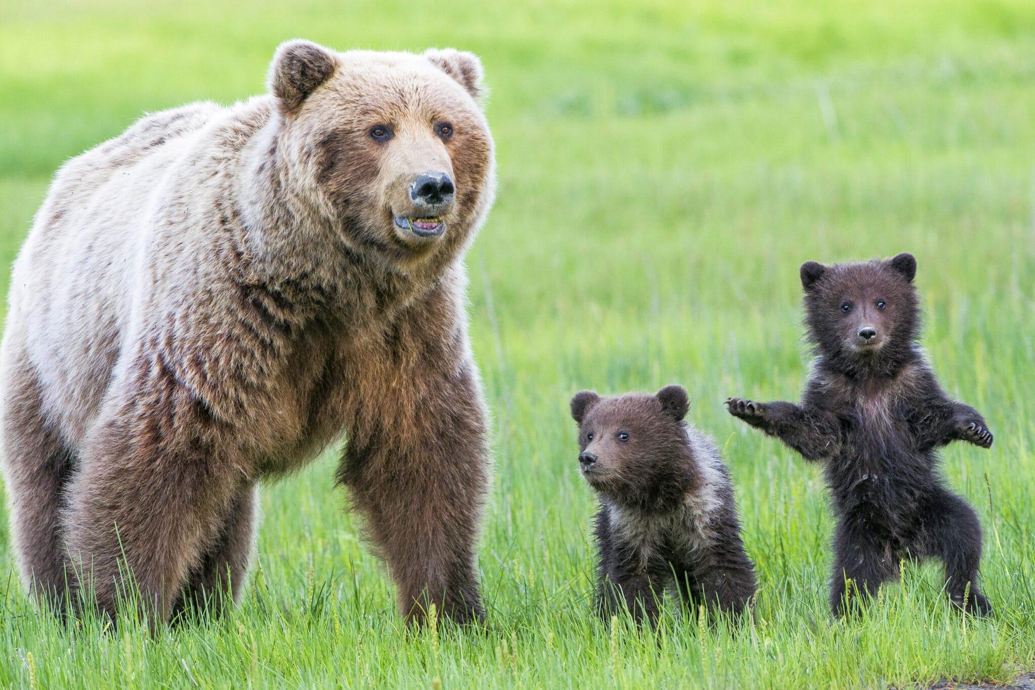 L'orsa JJ4 è più intelligente di chi la vuole morta <br> Rinuncia al miele pur di non finire in trappola <br> Intervenga Salvini
