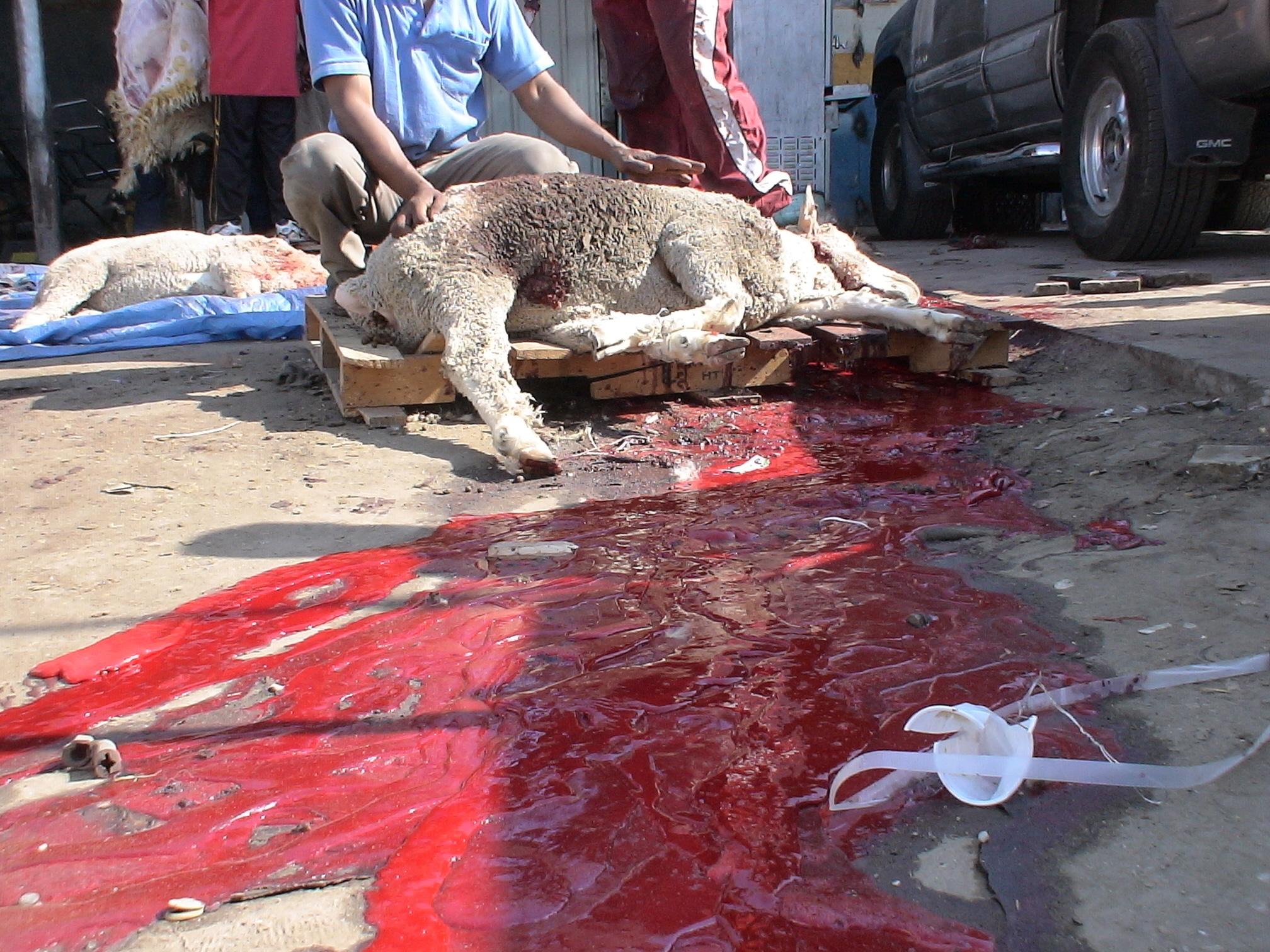 Festa del sacrificio: previsto lo sgozzamento in casa o in moschee abusive di almeno mezzo milione di animali <br> A fine luglio il barbaro rito sarà celebrato in Italia da 3 milioni di islamici