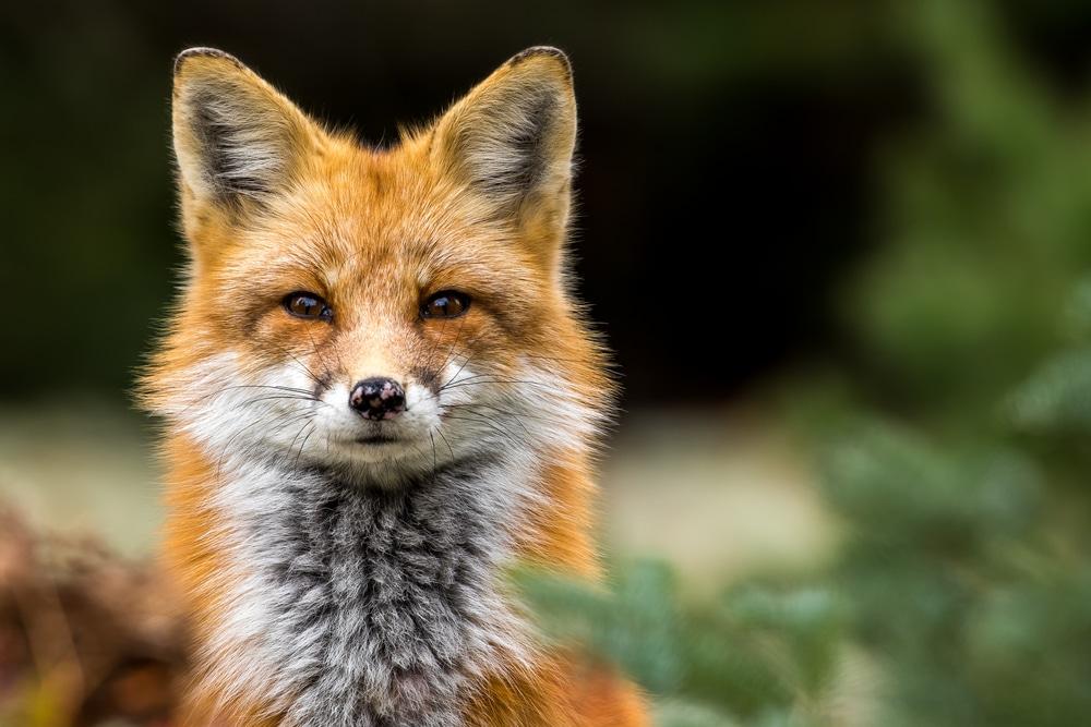 La volpe è diventata amica dell'uomo <br> Da Nord a Sud aumentano gli avvistamenti in città
