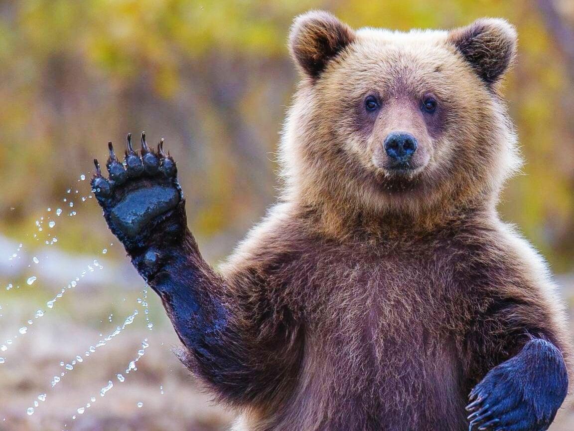 Questo non è un orso, è un dio! Si libera del radiocollare dileguandosi.<br> Continua la saga di M49, la mitica creatura più ricercata del globo.