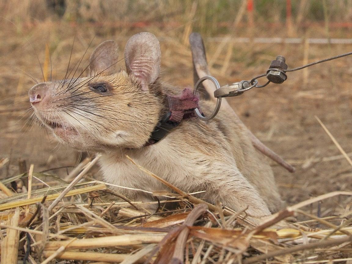 Persino un topo può essere più utile di uno dei nostri ministri.<br> Un ratto ha ricevuto la medaglia d'oro al valore: veloce e infallibile nella individuazione delle mine antiuomo