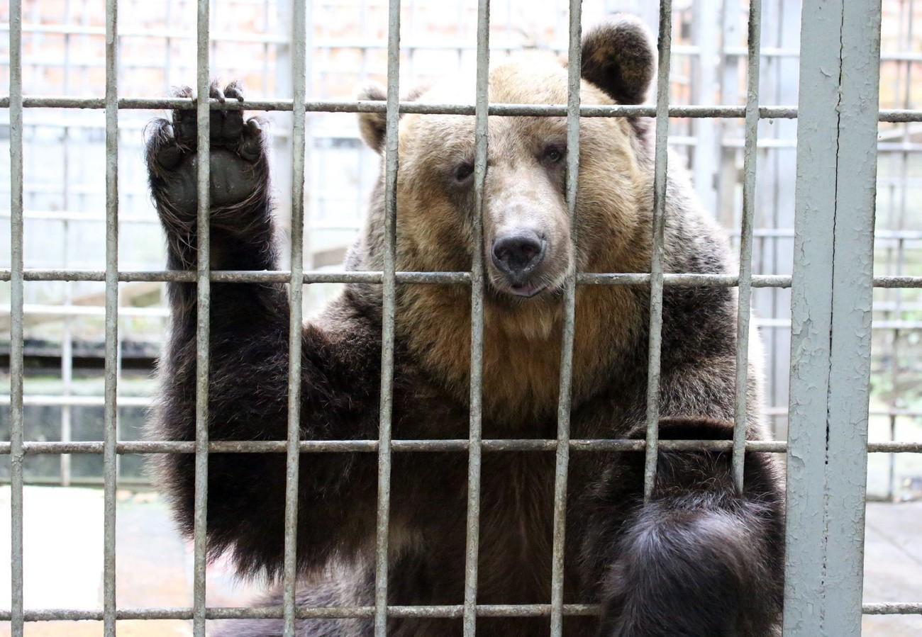 M49 di nuovo in cella, ma non ha mai fatto del male a nessuno.<br> Perseguitati dagli uomini, gli orsi del Trentino hanno vita dura