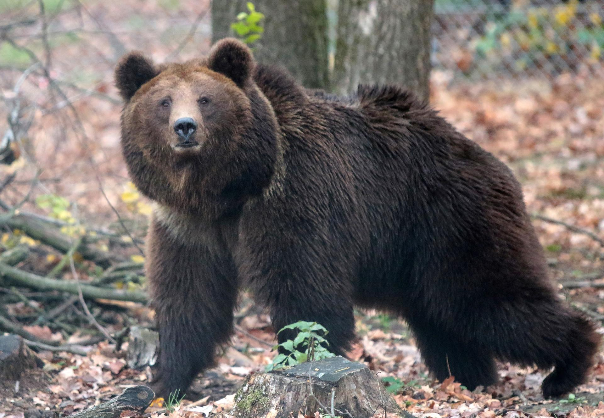 Fugatti, il governatore che ordina cattura e pure abbattimento dei plantigradi, è un mangiatore di carne di orso.<br> Non aspettiamoci allora sensibilità e amore verso queste creature