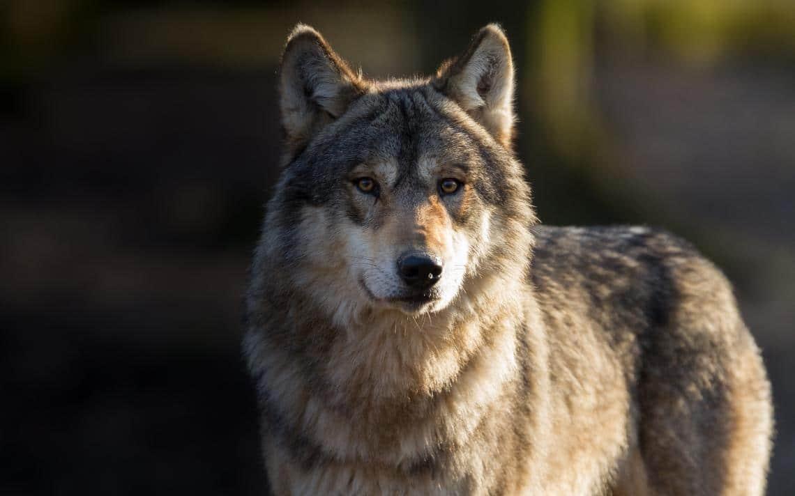 Eccezionale proliferazione di lupi in Italia: ormai si spingono fino alle porte delle città.<br> Allevatori e agricoltori sul piede di guerra, ma il grande predatore non è mica il cattivo delle fiabe