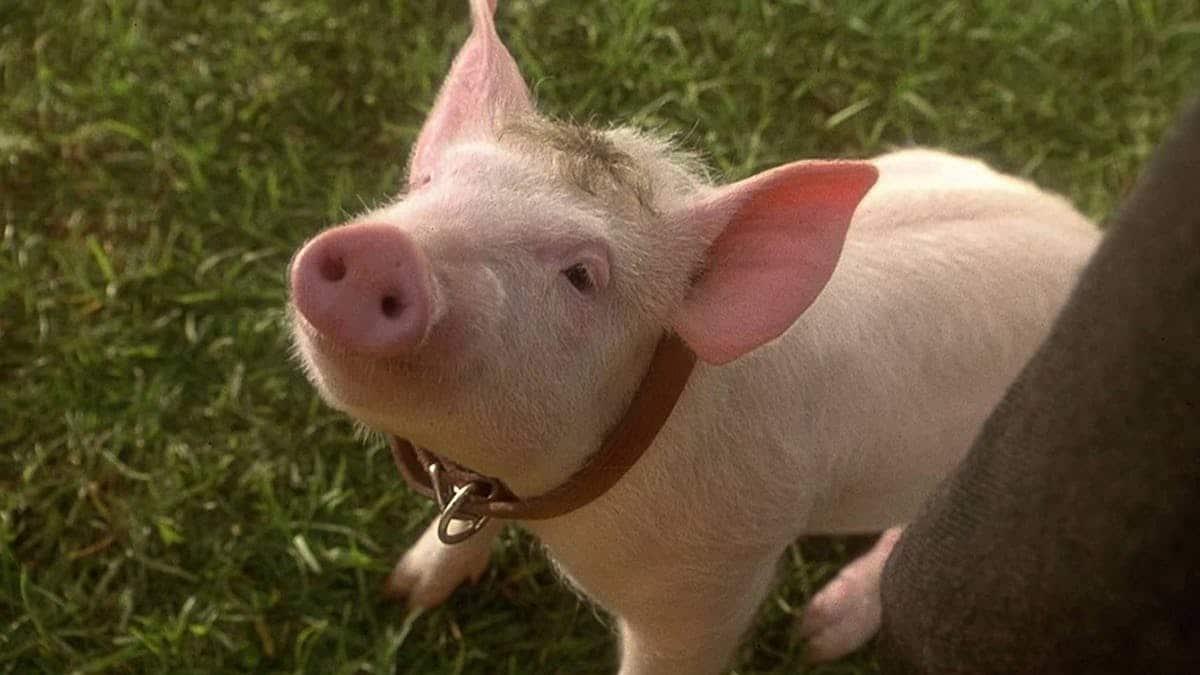 Si lanciò da un rimorchio per sfuggire alla macellazione, oggi la coraggiosa maialina Siena è stata accolta in un'oasi per animali maltrattati