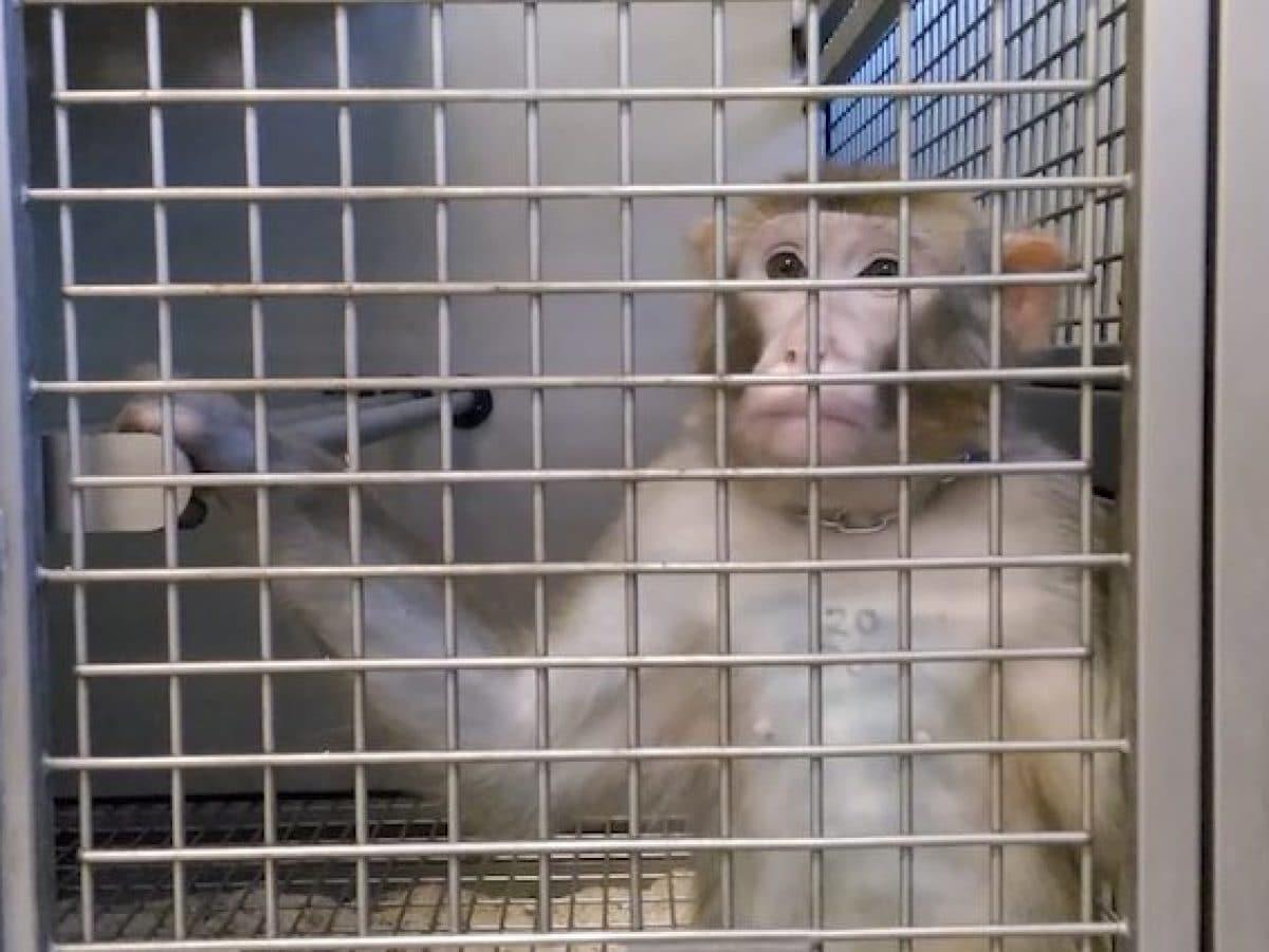 Il Consiglio di Stato ci ripensa e autorizza la sperimentazione sui macachi. A Parma verranno torturati