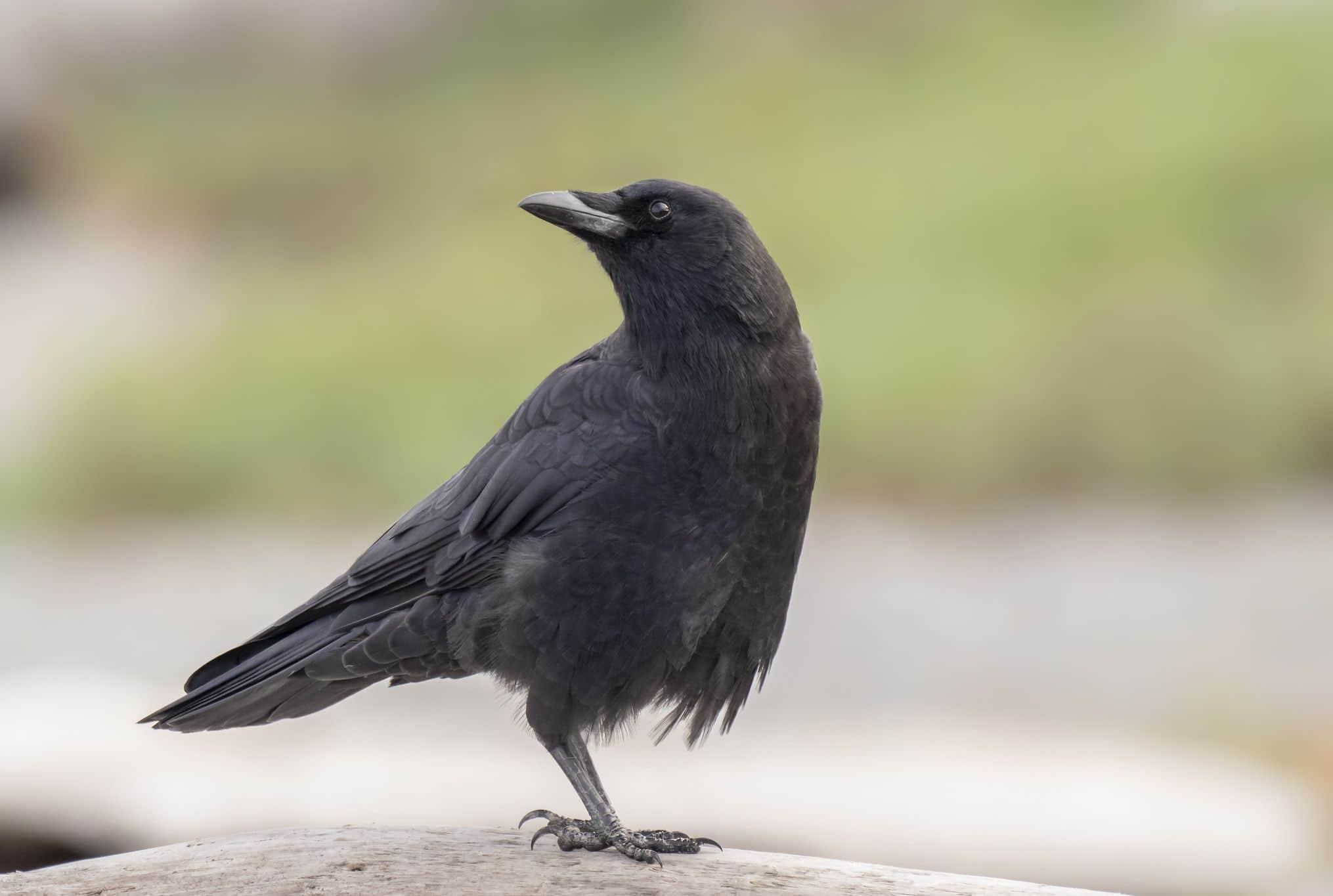 Eroe bergamasco: a 76 anni affoga nei liquami per salvare un corvo